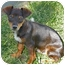 Photo 2 - Dachshund/Chihuahua Mix Puppy for adoption in Bellflower, California - Toby