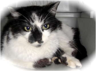 Domestic Shorthair Cat for adoption in Barron, Wisconsin - Cally