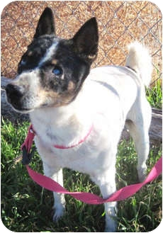 Fox Terrier (Toy) Mix Dog for adoption in Alamogordo, New Mexico - Cookie (Coco)