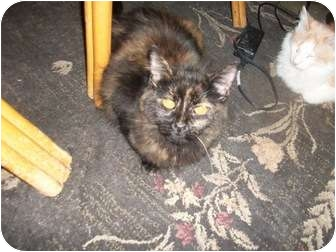 Domestic Mediumhair Cat for adoption in Palm Springs, California - Paris