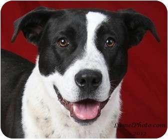 Border Collie/Labrador Retriever Mix Puppy for adoption in North Hills, California - Captain Cook