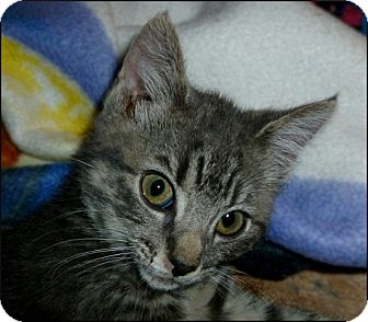 Domestic Shorthair Kitten for adoption in Colville, Washington - Squeeky