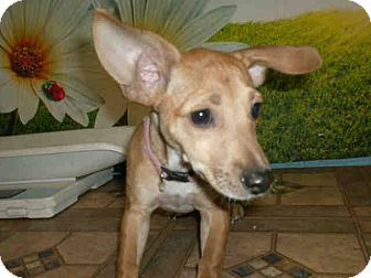 Chihuahua Mix Puppy for adoption in Las Vegas, Nevada - Leia
