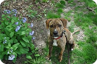 Pit Bull Terrier Mix Dog for adoption in Minneapolis, Minnesota - Moose