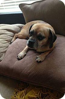 Pug Mix Dog for adoption in Kingwood, Texas - Nena