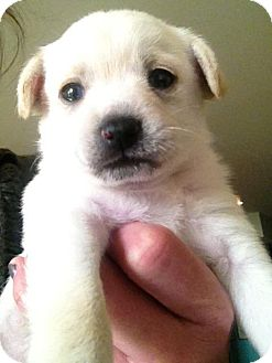 Terrier (Unknown Type, Medium)/Labrador Retriever Mix Puppy for adoption in Encino, California - Louis - Nanna puppy!