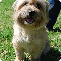 Adopt A Pet :: Buttercup - Kingwood, TX