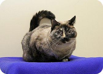 Domestic Shorthair Cat for adoption in Bellingham, Washington - Misty