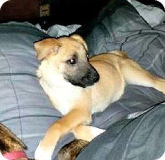 Shepherd (Unknown Type) Mix Puppy for adoption in ST LOUIS, Missouri - Honey