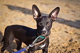 Dachshund/Rat Terrier Mix Puppy for adoption in Orange, California - Black Jack
