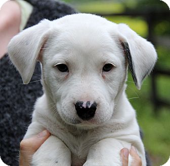 Border Collie/Boxer Mix Puppy for adoption in Chicago, Illinois - PETRA