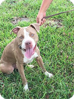 Pit Bull Terrier/American Bulldog Mix Dog for adoption in Cat Spring, Texas - Chip the Pit