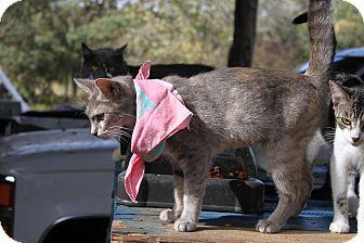 American Shorthair Kitten for adoption in Morriston, Florida - gray orange