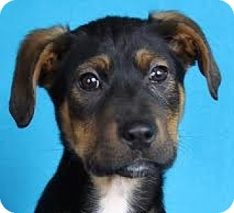 Terrier (Unknown Type, Medium) Mix Puppy for adoption in Minneapolis, Minnesota - Bentley