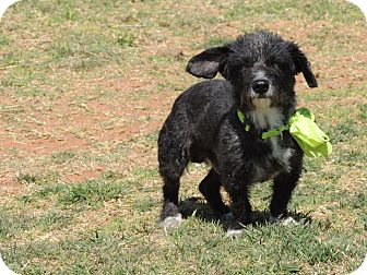 Schnauzer (Miniature)/Terrier (Unknown Type, Small) Mix Dog for adoption in Denver City, Texas - Scruffy