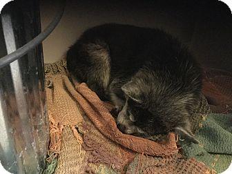Pomeranian/Chihuahua Mix Dog for adoption in Milton, Florida - Kinkers