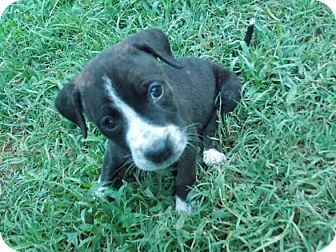 Pit Bull Terrier Mix Puppy for adoption in Wichita Falls, Texas - Sirius