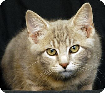 Domestic Shorthair Cat for adoption in Newland, North Carolina - Louie
