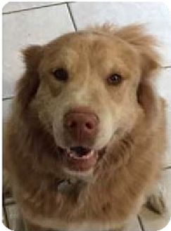 Husky/Golden Retriever Mix Dog for adoption in Gig Harbor, Washington - Lola (Courtesy Listing)