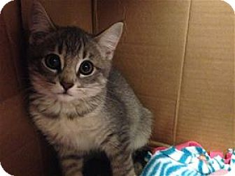 Domestic Shorthair Kitten for adoption in Lincoln, California - Del Webb