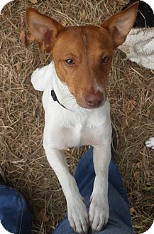 Jack Russell Terrier Mix Dog for adoption in Austin, Texas - Baxter in Alexandria, LA