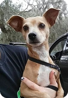 Chihuahua Mix Dog for adoption in Gainesville, Florida - Nick