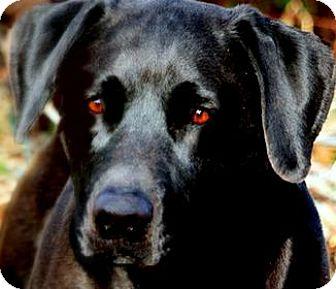 "Labrador Retriever Dog for adoption in Wakefield, Rhode Island - BUDDY(YOUR ""BEST FRIEND""!!"