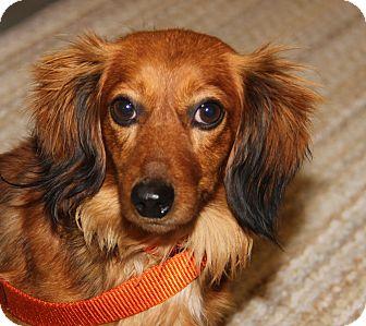 Dachshund Mix Dog for adoption in Marietta, Ohio - Rusty