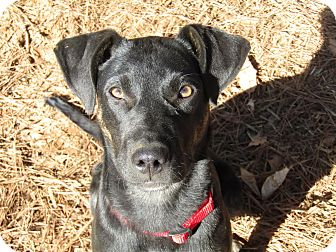 Labrador Retriever/Pointer Mix Puppy for adoption in Beacon, New York - Happy Howie