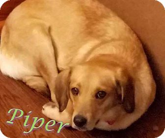 Golden Retriever/Mixed Breed (Medium) Mix Dog for adoption in WESTMINSTER, Maryland - Piper