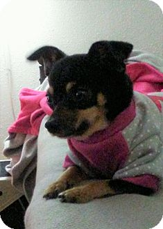 Chihuahua Mix Dog for adoption in Pittsburgh, Pennsylvania - Emma