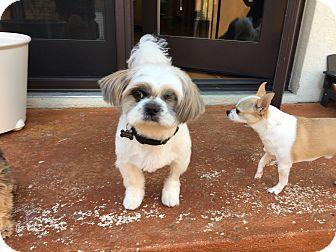 Shih Tzu Mix Dog for adoption in Arlington, Virginia - Gizmo