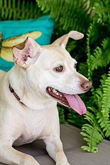 Labrador Retriever Mix Dog for adoption in Fort Lauderdale, Florida - Margarita