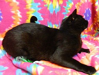 Domestic Shorthair Cat for adoption in Columbus, Nebraska - Percy