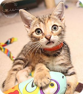 Domestic Shorthair Kitten for adoption in Charlotte, North Carolina - A..  Halene