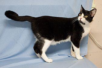 Domestic Shorthair Cat for adoption in Houston, Texas - Vladimir