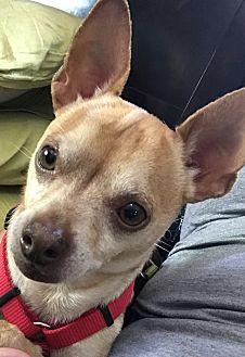 Chihuahua Mix Dog for adoption in Grand Ledge, Michigan - Sanchez