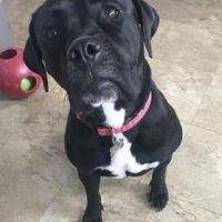 Adopt A Pet :: Sadie 6 - Chicago, IL