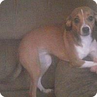 Adopt A Pet :: Shiloh - Rockville, MD