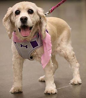 Cocker Spaniel Dog for adoption in Westminster, Maryland - Emma