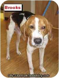 Foxhound Dog for adoption in Talking Rock, Georgia - Brooks