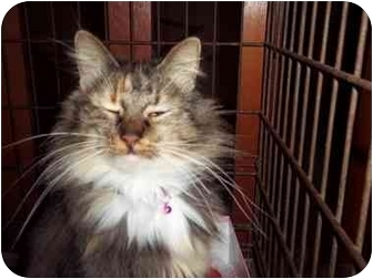 Maine Coon Cat for adoption in all of, Connecticut - Precious