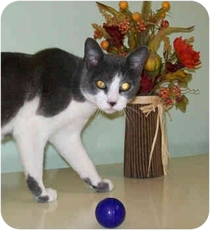 Domestic Shorthair Cat for adoption in Murphysboro, Illinois - Cameron