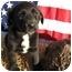 Photo 1 - Border Collie/Labrador Retriever Mix Puppy for adoption in Marion, North Carolina - PANDORA