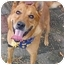 Photo 2 - German Shepherd Dog/Chow Chow Mix Dog for adoption in Huntington, New York - Higgins