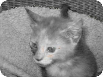 Domestic Shorthair Kitten for adoption in Catasauqua, Pennsylvania - Autum