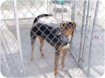 Black and Tan Coonhound/Airedale Terrier Mix Dog for adoption in Cedaredge, Colorado - Ruger