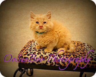 Maine Coon Kitten for adoption in Warren, Michigan - Trooper