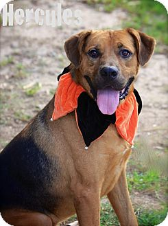 German Shepherd Dog/Mastiff Mix Dog for adoption in Wilmington, Delaware - Hercules