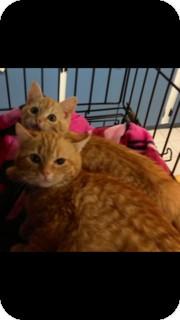 Domestic Mediumhair Kitten for adoption in Aiken, South Carolina - Timone & Pumba